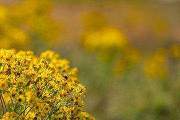 Gelbe Blumen mit einer Biene in den Dünen 2 von Percy's fotografie