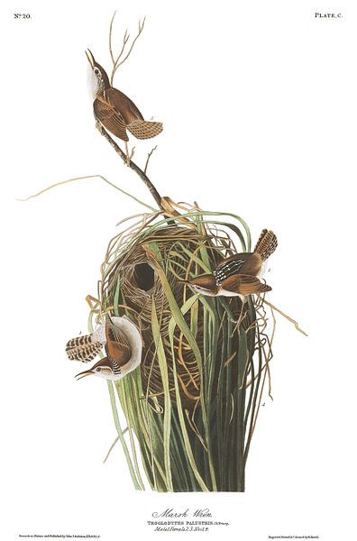 Moeraswinterkoning van Birds of America