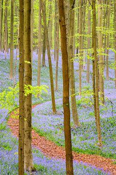 Mäandernden Wald in den Hallerbos sur Sjoerd van der Wal