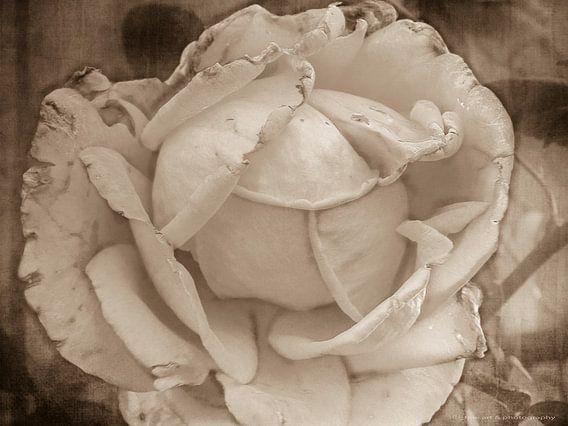 Sepia wit, verwelkte roos van Yvon van der Wijk