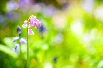 Bluebell flowers von Sjoerd van der Wal