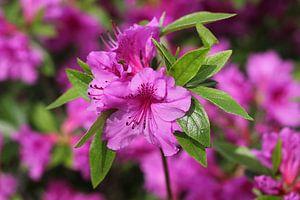 The Purple Blossom
