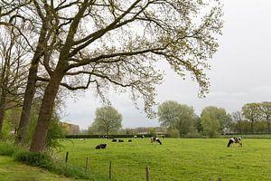 Koeien in wei bij Rhijnauwen