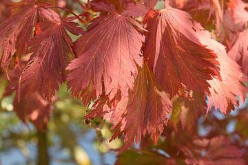 Rotes Herbstlaub von Nicolette Vermeulen