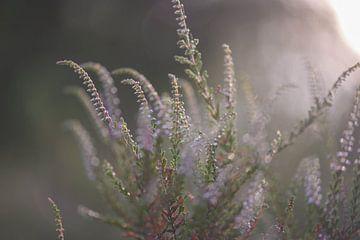 eerste heideplant van Tania Perneel