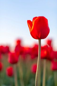 Blühenden roten Tulpen während des Sonnenuntergangs in Holland von Sjoerd van der Wal