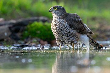 Sperber-Raubvogel