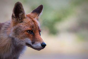 Nieuwsgierig vosje van Yvonne van Leeuwen