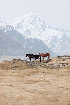 Kudde paarden (Lofoten, Noorwegen) van Quinten Tolboom