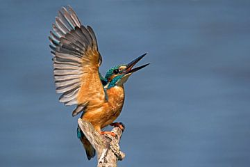 Ijsvogel in dreighouding von Mieke Korsten