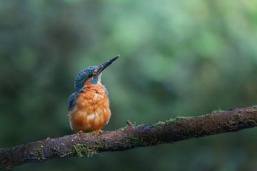 IJsvogel op een tak van Rianne van Diemen