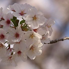 Sakura van Tazi Brown