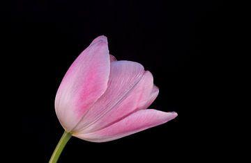 Roze Tulp van Leonie Boverhuis