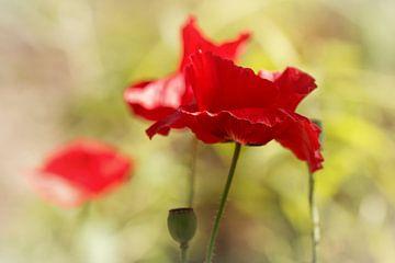 I hou zo veel van haar..... (bloem, rood, klaproos, liefde) van Bob Daalder