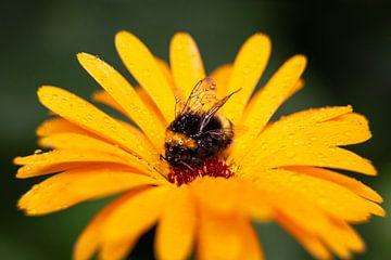 Gelbe Blume mit Hummel von Dennis Claessens