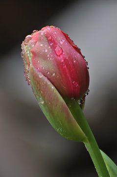 Crying Tulip von Zsjak Wagenaar