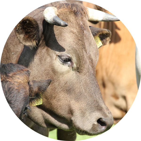 Dromerige koe met hoorns van Monique Meijer