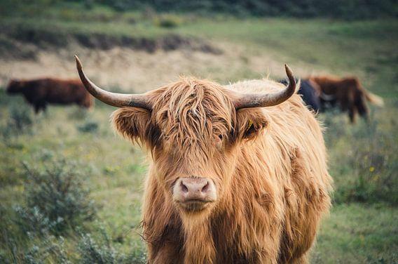 Schotse Hooglander in het duin