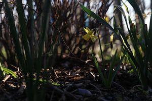 Narcis in de schaduw