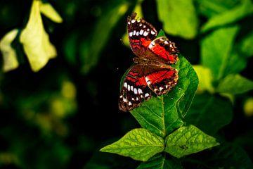 Schöner roter tropischer Schmetterling im Amazonasgebiet in Peru von John Ozguc