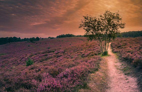 De roze velden van Posbank van Joris Pannemans - Loris Photography