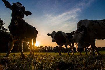 Koeien bij zonsondergang von Heleen van de Ven