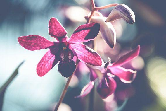 Orchid  van MR OPPX