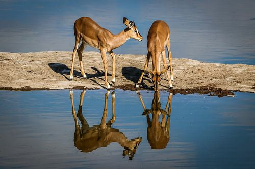 Schitterende reflectie van drinkende Impala's in Etosha National Park, Namibia van Original Mostert Photography
