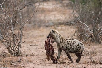 Hyena met prooi sur Riana Kooij