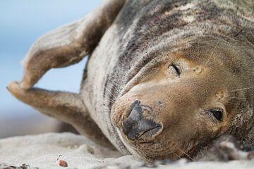 Grijze zeehond op strand van AGAMI Photo Agency