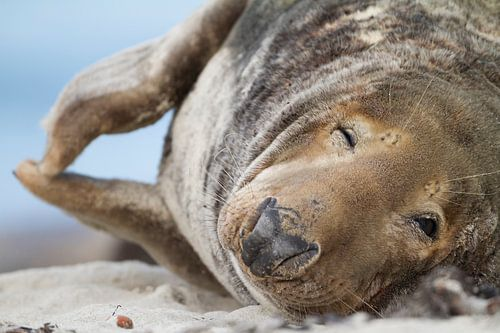 Grey Seal, Halichoerus grypus von AGAMI Photo Agency