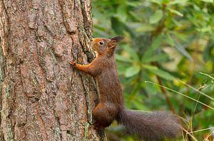 Eekhoorn klevend aan boomschors