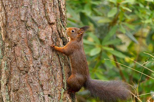 Eekhoorn klevend aan boomschors van Remco Van Daalen