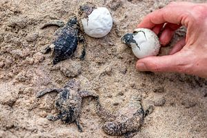 Kleine schildpadjes die net uit het ei geboren worden in Sri Lanka