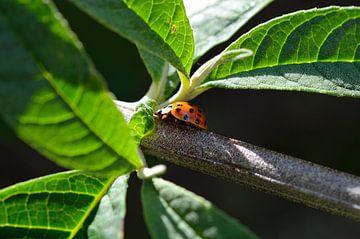 Ladybug (lieveheersbeestje) van Madelinde Maassen