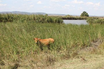Kuh im Evros Delta - Griechenland von ADLER & Co / Caj Kessler