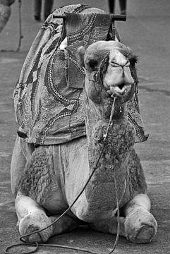Sitzendes Kamel von Homemade Photos