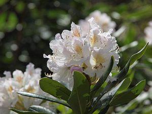 Weiß / rosa Rhododendron in Blüte von Annie Lausberg-Pater