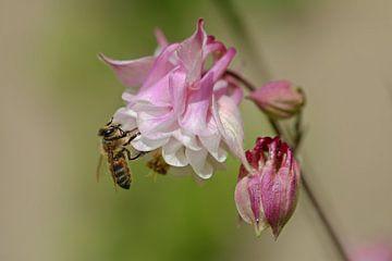 Akelei mit Biene von Bernhard Kaiser