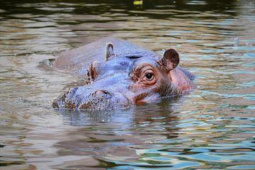 Nijlpaard/ Hippo potanus /Nilpferd van Monique van Falier