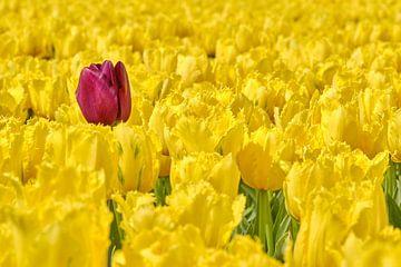 Eine verirrte lila Tulpe zwischen den gelben Tulpen von eric van der eijk