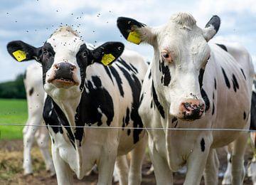 Twee koeien achter een draad. van