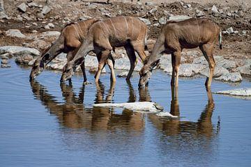 Kudu-Weibchen löschen den Durst von Merijn Loch