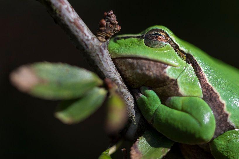 Laubfrosch   Laubfrosch auf schönem Zweig von Servan Ott