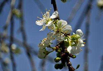 Apfel Blüte von Leo Langen