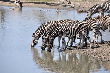 Groepje zebra's lessen hun dorst van Peter Mooij