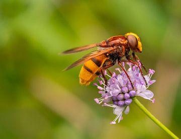 Insekten in meinem Stadtgarten; Bestäubung durch Schwebfliegen von Bep van Pelt- Verkuil