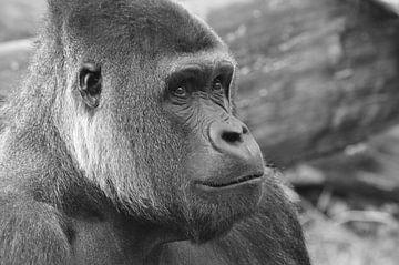Gorilla von Picture Partners