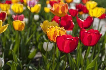 Tulpen in Rot und Gelb von Norbert Sülzner