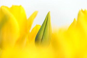 Gele tulp in knop van Karin de Boer
